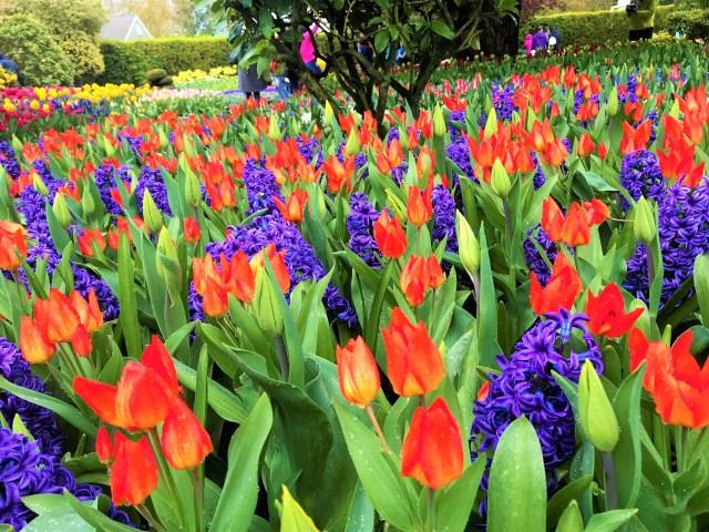 Orange Tulips with Purple spirals flowers.  Mix variety of flowers in Display garden at Tulip Fields