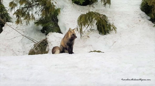 Fox sight at Mount Rainier National Park in Winter. On the way to Paradise valley. Fox , wildlife.