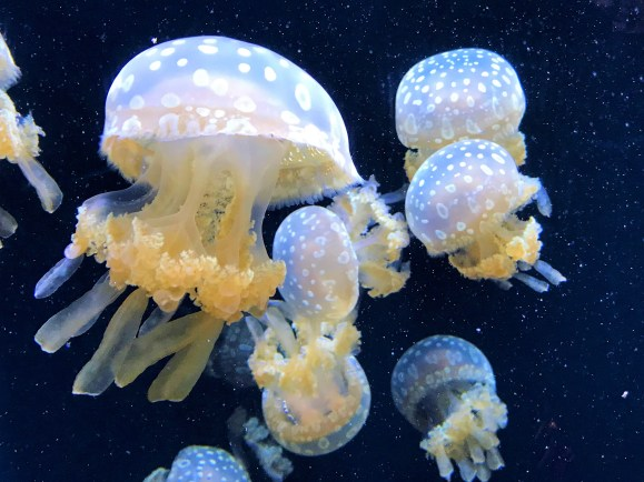 Jelly Fish in Seattle Aquarium, Seattle Attractions