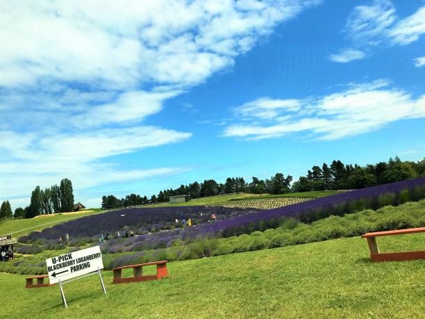U Pick Lavender and Berries at Sequim Lavender Farm, Washington