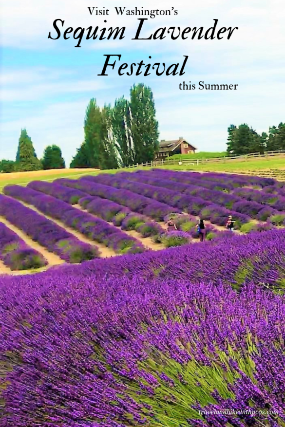 Most Beautiful Lavender Farms at Sequim,Go Pick your Lavender, Organic Lavender