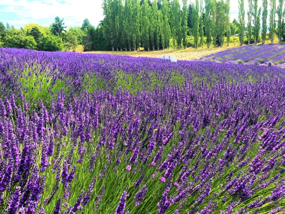 Purple Lavender in Lavender Fields at Sequim Washington