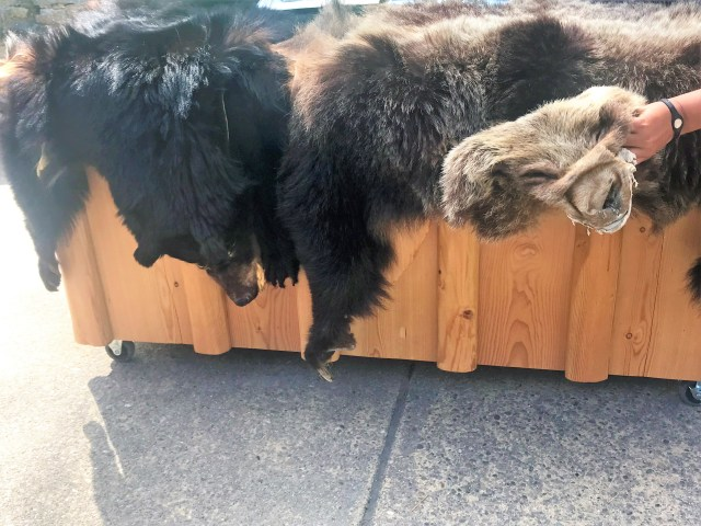 Black Bear and Grizzly Bear Skin Exhibit at Apgar Visitor Center
