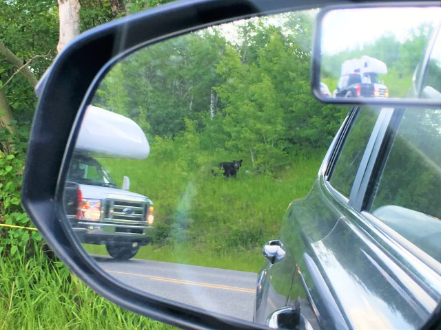 Black Bear Spotted next to the road near Rising Sun