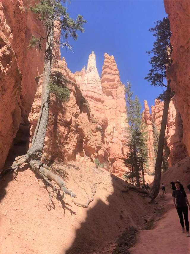 Trees at bottom of First Switchback on Navajo Trail