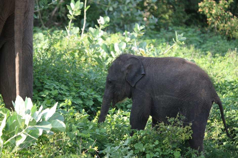 baby-elefant-elephanteau-uda-walawe