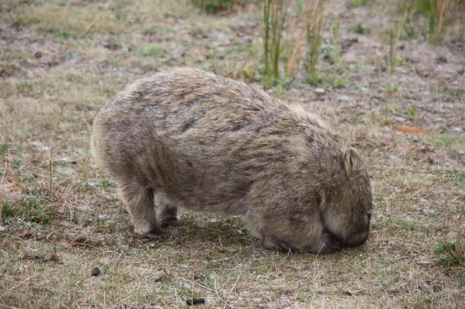wombat Wilson promontory VIC Australie