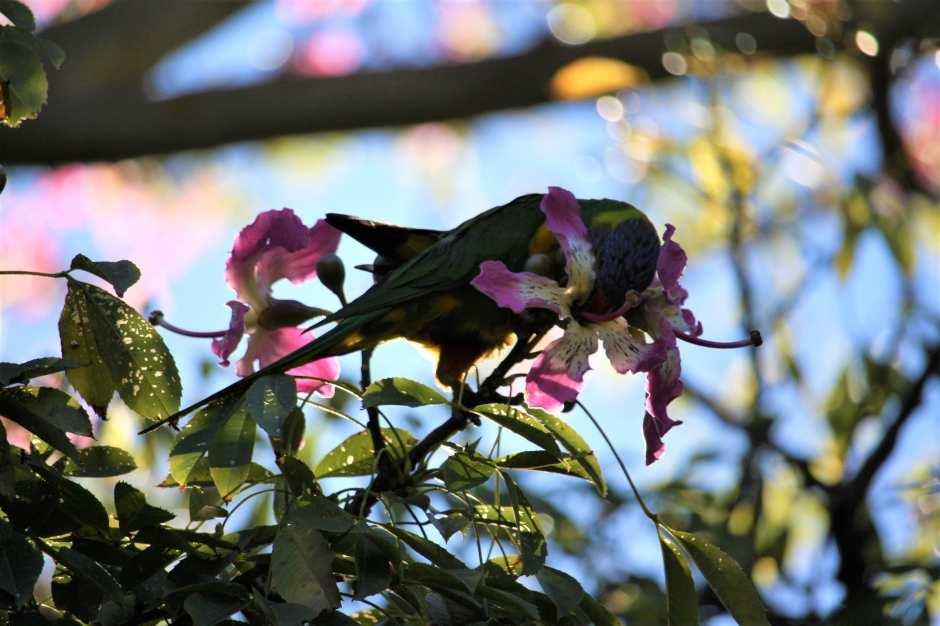 Adélaïde-oiseaux