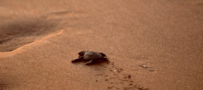 Photo Gallery – First steps of a tiny sea turtle