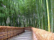 Pădurea de bambus din Sagano