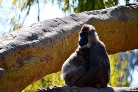 Maimuţoiul şi puiul său