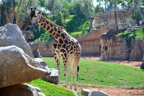 Populaţia de girafe din parc este destul de numeroasă
