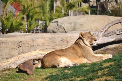 A durat cam un sfert de oră până am prins leoaica cu capul întors ... o interesau mai mult antilopele.