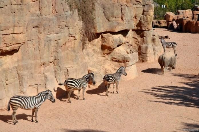 Prioritate de rinocer - dacă are chef, trece pe zebră, dacă nu ... peste ea.