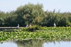 Alţi pelicani