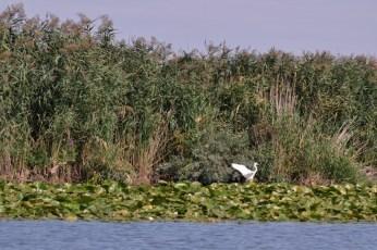 O egretă izolată