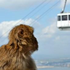 Gibraltar - maimuţoiul curios