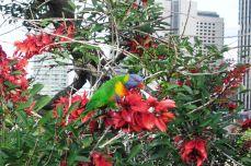 Sydney - Rainbow Lorikeet