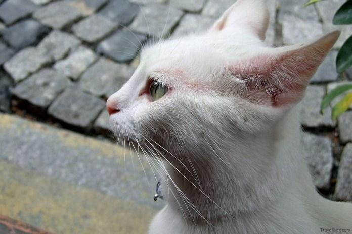 Pisica otomană ...