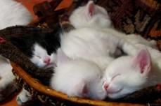 Coșul cu pisici
