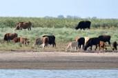 Vacile 'sălbatice'