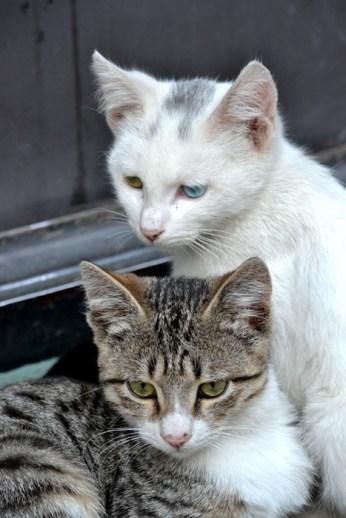 Pisici georgiene
