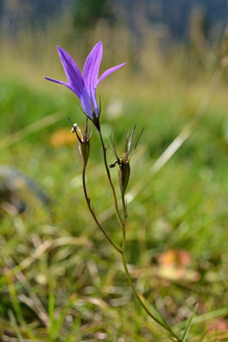 Macro - flori de munte
