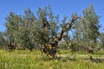 Măslin de 300 de ani, încă pe rod
