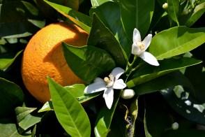 Flori și fructe pe același rod