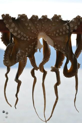Caracatiță la uscat