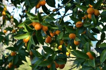 Fructul de Koum Quat