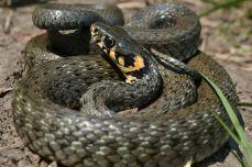 Șarpele de casă la sesiunea foto