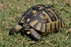 Testudo graeca - țestoasa dobrogeană