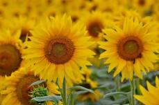 În lanul de floarea-soarelui de la Greaca