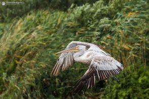 Pelican creț