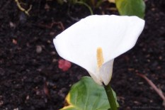 Found a lone white calla lily ~