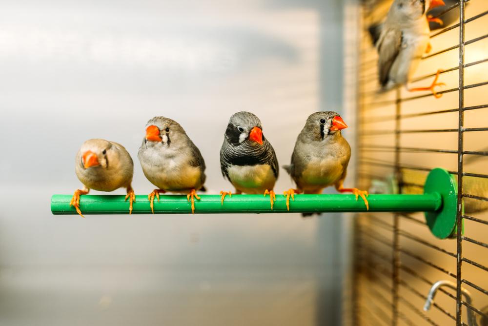 oiseau de compagnie