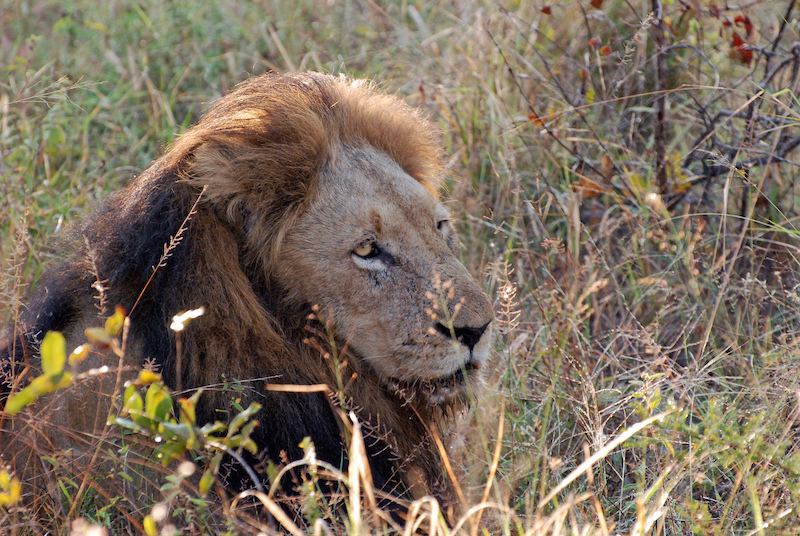 Lion in Gir National park  - Tourist places in Gujarat