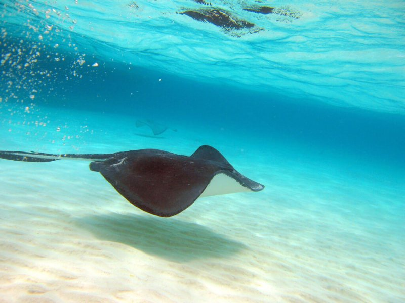 sting ray scuba diving