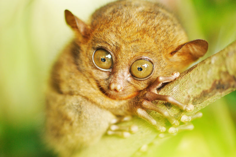 Tarsier on Tree