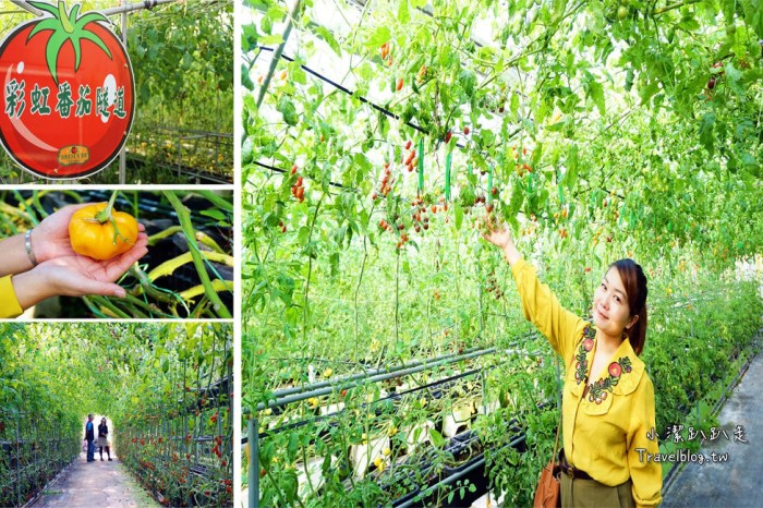 新竹關西景點》金勇DIY休閒農場.採蕃茄採草莓,免收門票,免費親子景點推薦!
