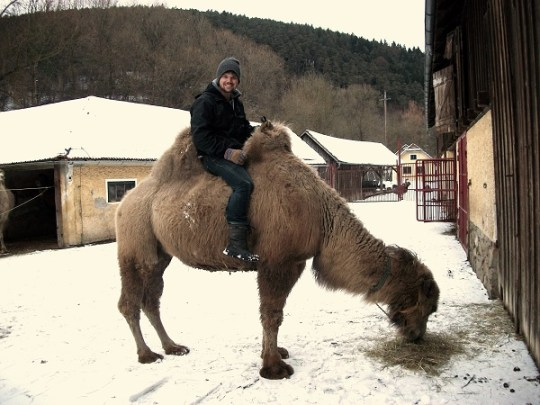Working on the camel farm in Austria