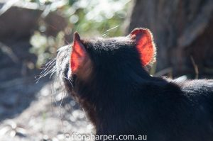 Tasmanian devil, Saffire Freycinet