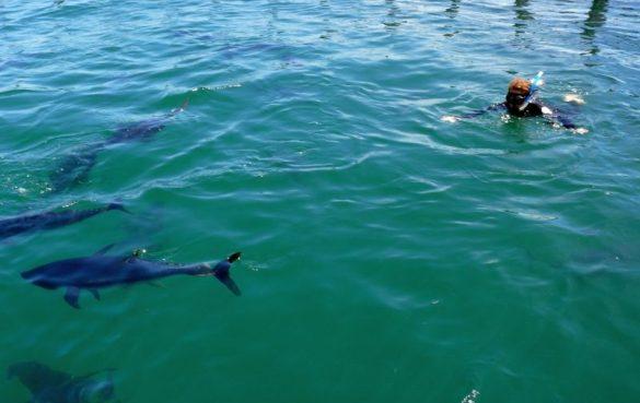 Swim with giant tuna Photo Fiona Harper travel writer