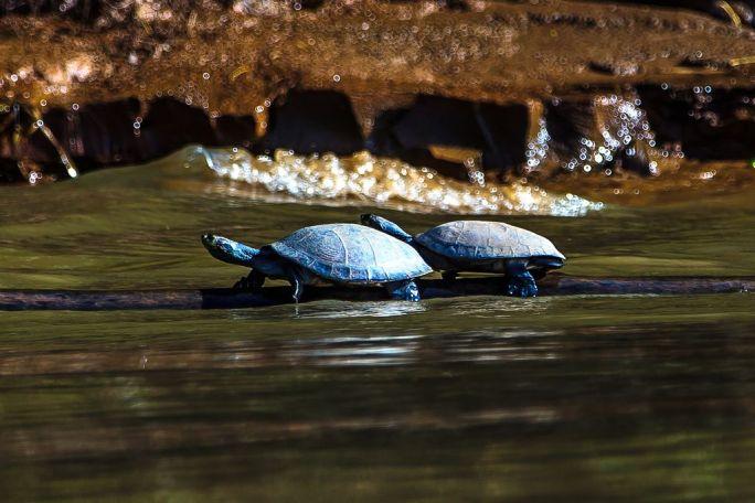 Turtles in Puerto Maldonado Peru