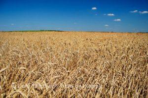 Wheat fields, Ukraine