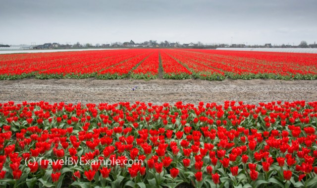 Fields of red tulips in Holland