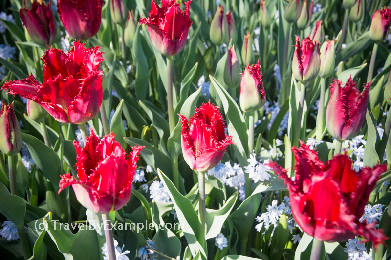 Travel by Example - Your guide to tulips season in the Netherlands