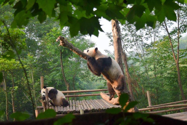 הפנדה הגדולה - הדוב שהפך לסמל האהוב ביותר של סין (צילום: טל ניצן)