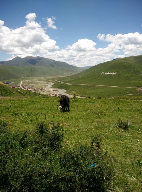 יאק רועה באחו על רקע עמק נהר סה-צ'ו (צילום: חיים קלאי)